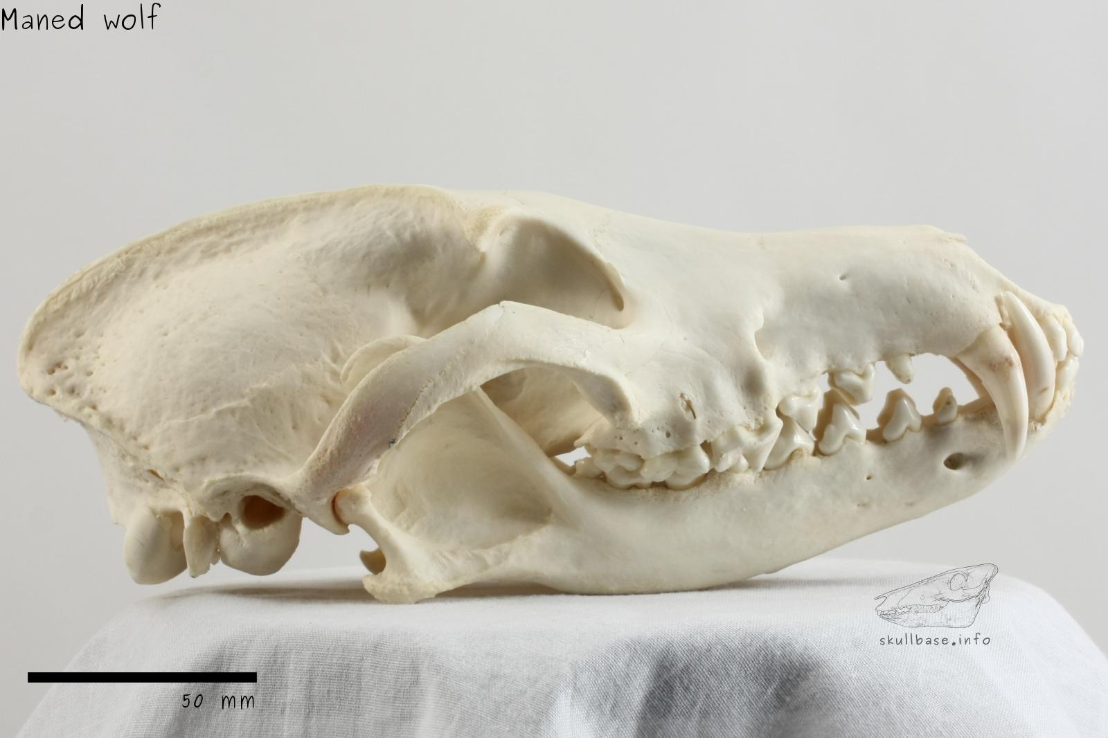 http://skullbase.info/skulls/mammals/maned_wolf/maned_wolf1.jpg