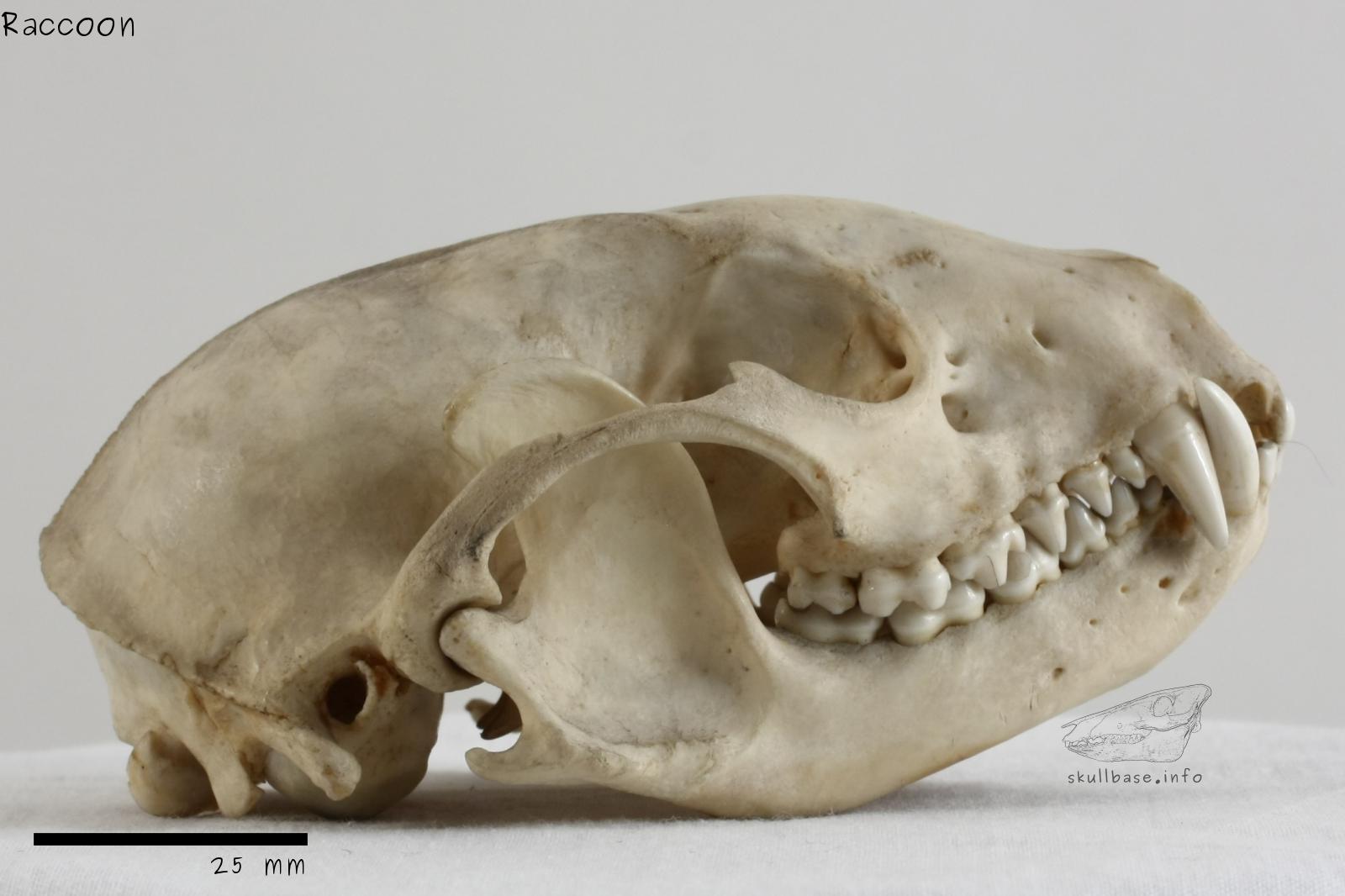 Raccoon - Skull Base